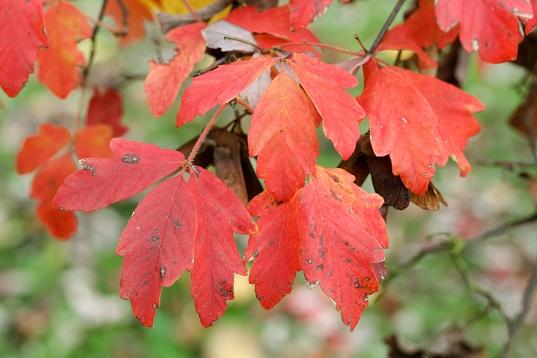 Acer griseum - Arboretum Robert Lenoir à Rendeux (Belgique)