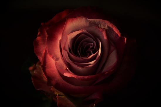 rose-dark_dagon