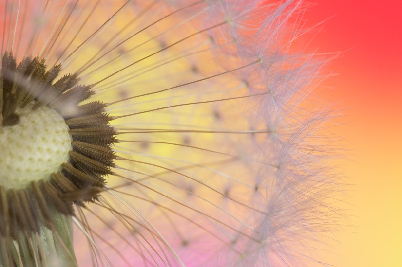 dandelion_wreco