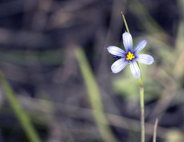 flower-blue_Wild0ne