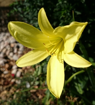 yellow Hemerocallis bloom